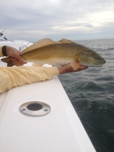 Beautiful copper Redfish