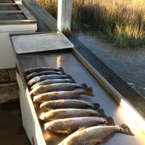 A half days catch of Redfish